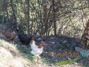 lombricomposteur et poules naines